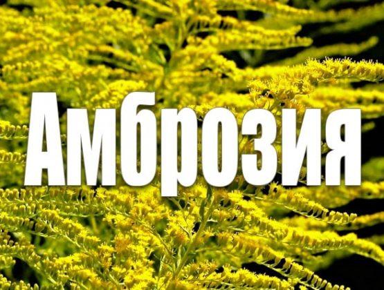 Наступил период цветения амброзии, он представляет опасность для аллергиков