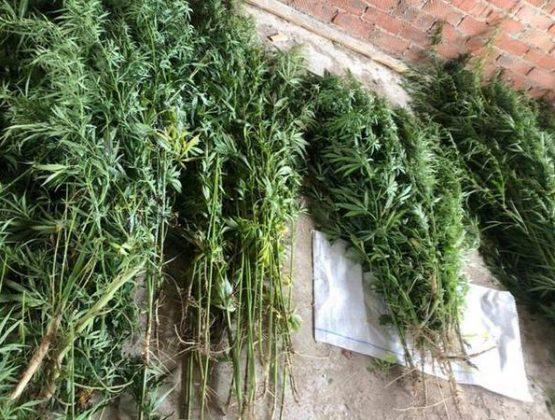 Кусты конопли высотой более 2 метров обнаружили в саду у жителя Вулканешт