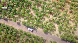 В районе Леова высадили плантации самого быстрорастущего дерева в мире