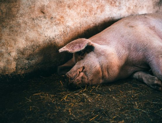 В Леовском районе выявлен случай чумы свиней